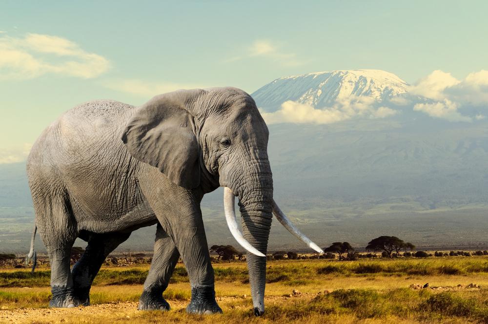 el elefante africano sufre la mayor ca da de poblaci n en 25 a os agencia ip. Black Bedroom Furniture Sets. Home Design Ideas
