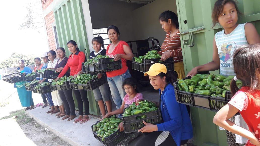 Comunidad indígena celebra cosecha de 350 kilos de pimientos en Concepción