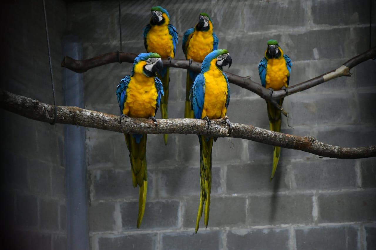 Itaipu recibe ejemplares de guacamayos canindé para proyecto de conservación